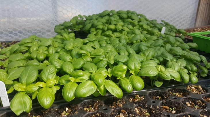 basil in nursery at trill farm
