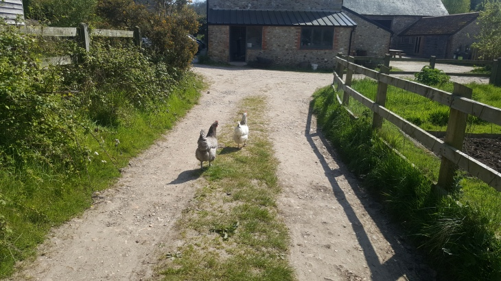 chickens running at trill farm